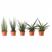 САНСЕВИЕРИЯ Растение в горшке,различные растения