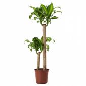 ДРАЦЕНА МАССЕНДЖЕАНА Растение в горшке, Драцена душистая, 2 стебля, 24 см