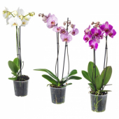 ФАЛЕНОПСИС Растение в горшке,Орхидея