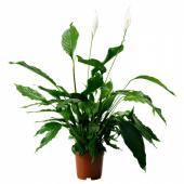 СПАТИФИЛЛУМ Растение в горшке,Спатифиллум