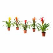 БРОМЕЛИЯ Растение в горшке, Бромелия, различные растения, 12 см